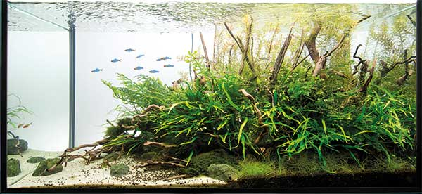 aquascaping - pawel - blue fish