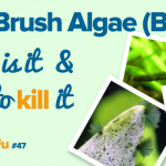 Black Brush Algae (BBA) – How to Kill it | ScapeFu047