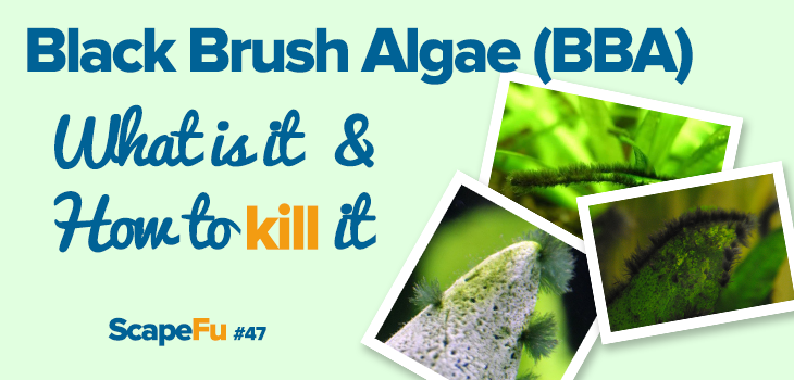 Black Brush Algae - how to kill it | ScapeFu047